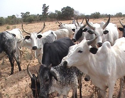 Photo of 200 missing Cows cause commotion in Jos