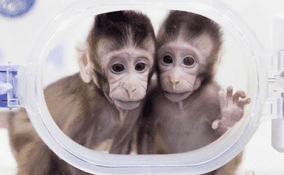 Photo of Cloning of monkey begins, humans get ready!