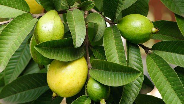 Photo of 17 amazing health benefits of Guava leaves