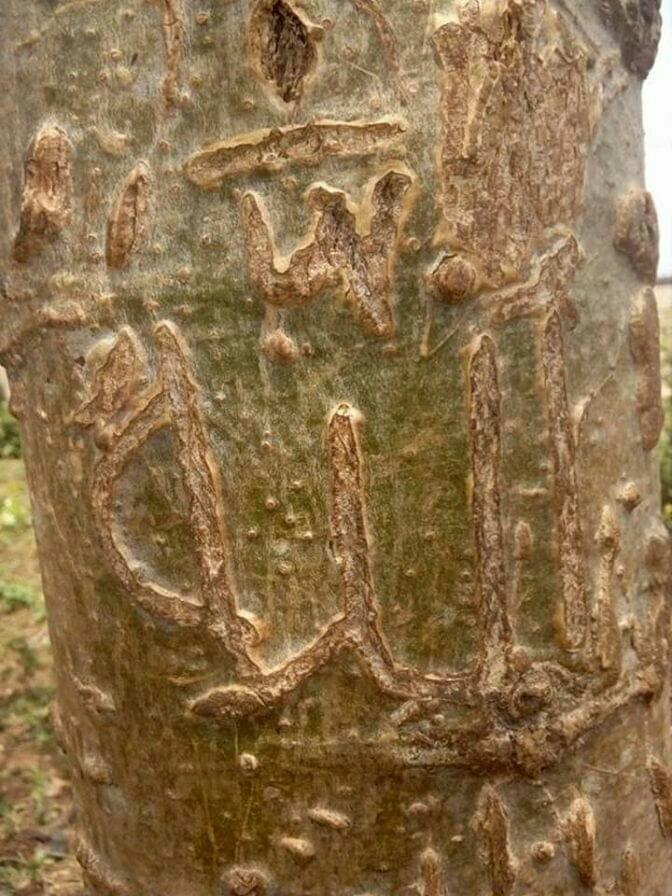 mystery tree in ikorodu