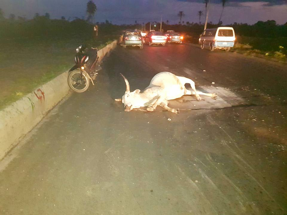 Cows cause ghastly accident
