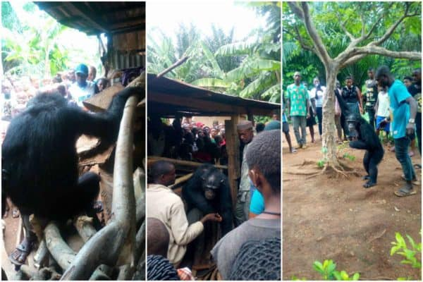 Photo of Commotion as wild gorilla follows farmer home in Cross river state (photos)