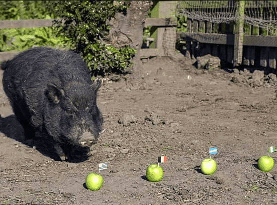 Pig named Mystic Marcus picks the Super Eagles to reach the semi-final of Russia 2018