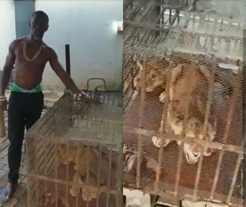 Photo of APC chieftain in Edo State buys two lions for security
