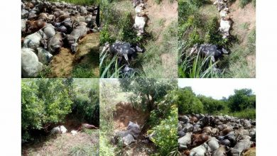 Photo of Commotion as 2 herders are declared missing, 344 cows killed in Plateau
