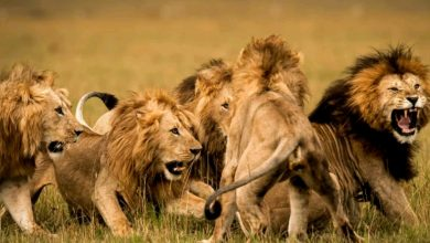 Photo of 14 lions escaped from Kruger National Park in South Africa