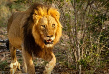 Photo of Update on Lion that escaped from Zoo in Kano