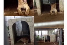 Photo of Lagos govt discovers Lion used as security guard by Indian national