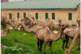Photo of Camels storm primary school in Plateau, turn it to grazing land (photos)