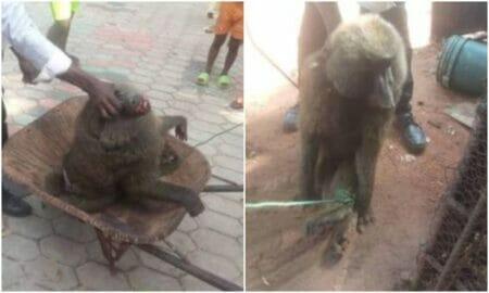 Baboon attacks girl in Enugu